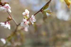 上高地も桜の季節が到来です