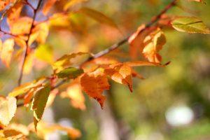 上高地 紅・黄の葉の色づきも進んでます